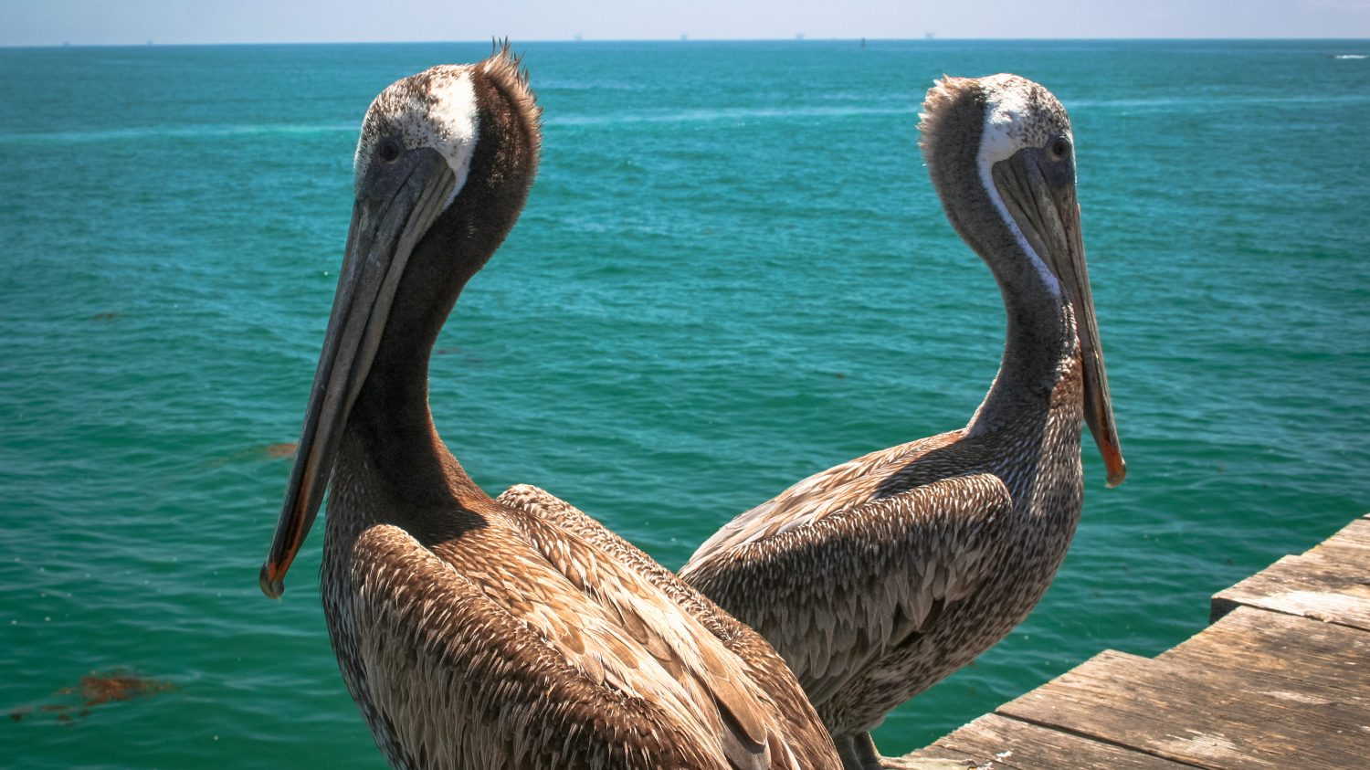 Pair of Pelicans on Stearns Wharf, Santa Barbara, CA