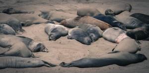 Elephant Seal Harem, Las Piedras Blancas, CA